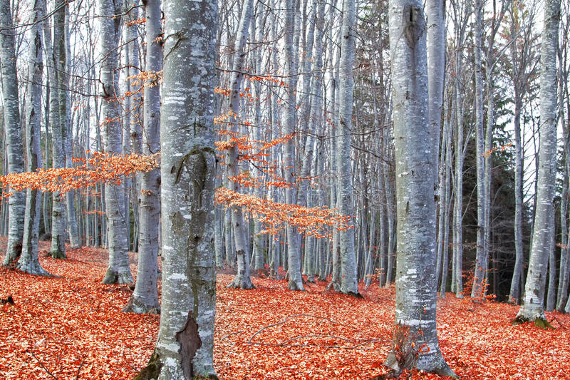 Autumn Beech Forest (Fagus Sylvatica) fotografia de stock