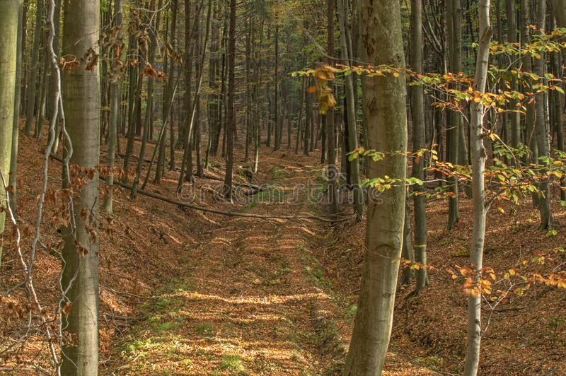 Autumn in the beech forest. stock photography
