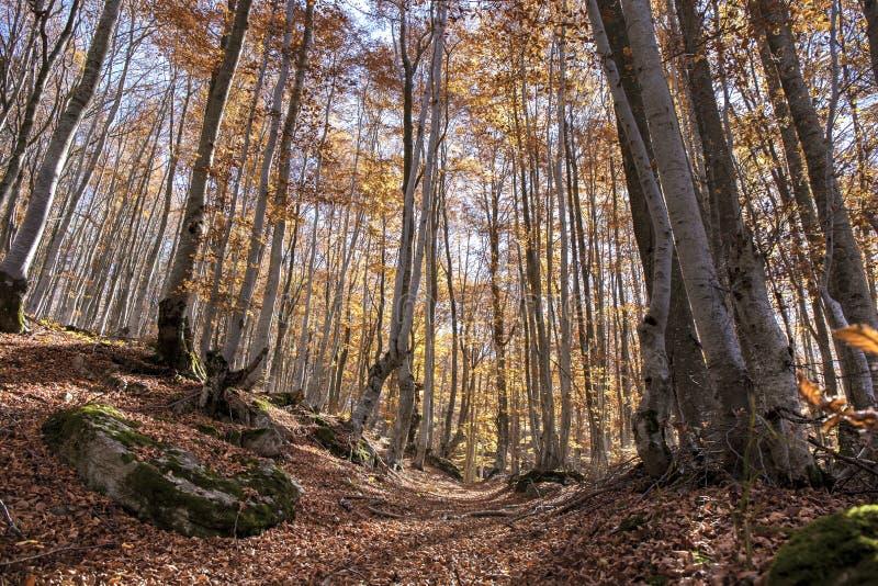 Autumn Beech Forest Landscape foto de stock
