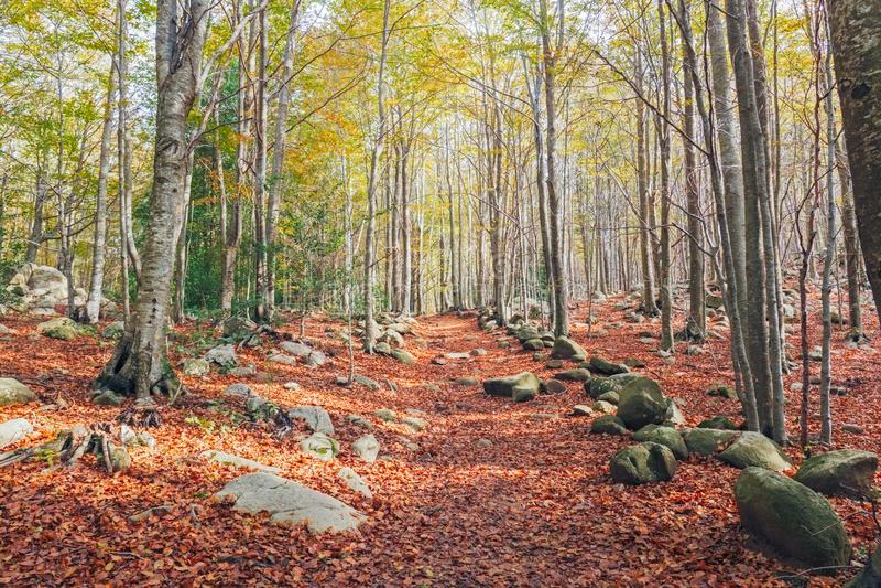 Autumn Beech Forest no parque natural de Montseny fotografia de stock