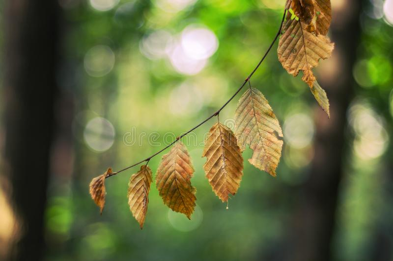 Autumn beech leaves in nature with soft bokeh background stock images