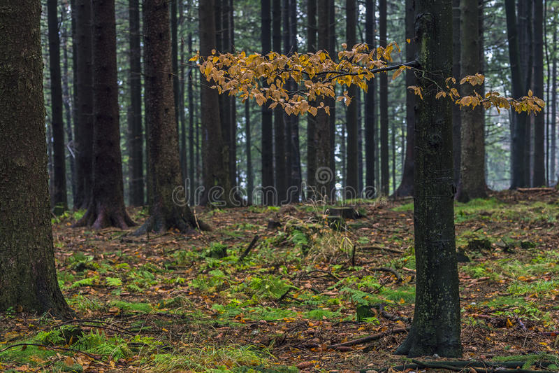 Autumn Beech Tree imagem de stock