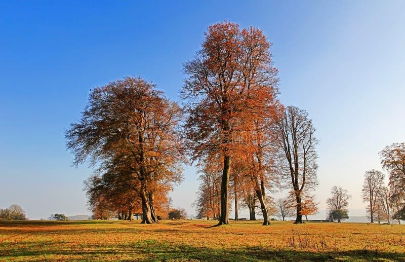 Autumn Beech Trees antico lungo la strada di Knifghtley, Fawsley, Northamptonshire fotografia stock