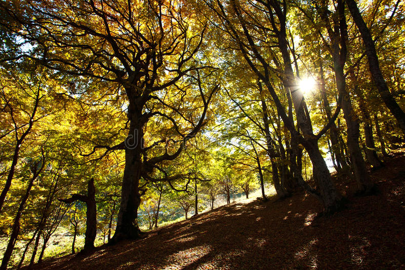 Download Autumn Beech Woods With Yellow Trees Foliage In Mountain Forest Stock Photo - Image: 34575298