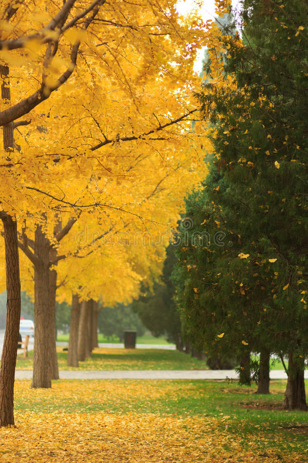 Autumn Beijing ditan park, ginkgo. Golden ginkgo tree hand in photograph reflect with the green pine royalty free stock images
