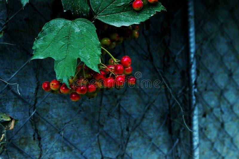 Autumn berries stock photos