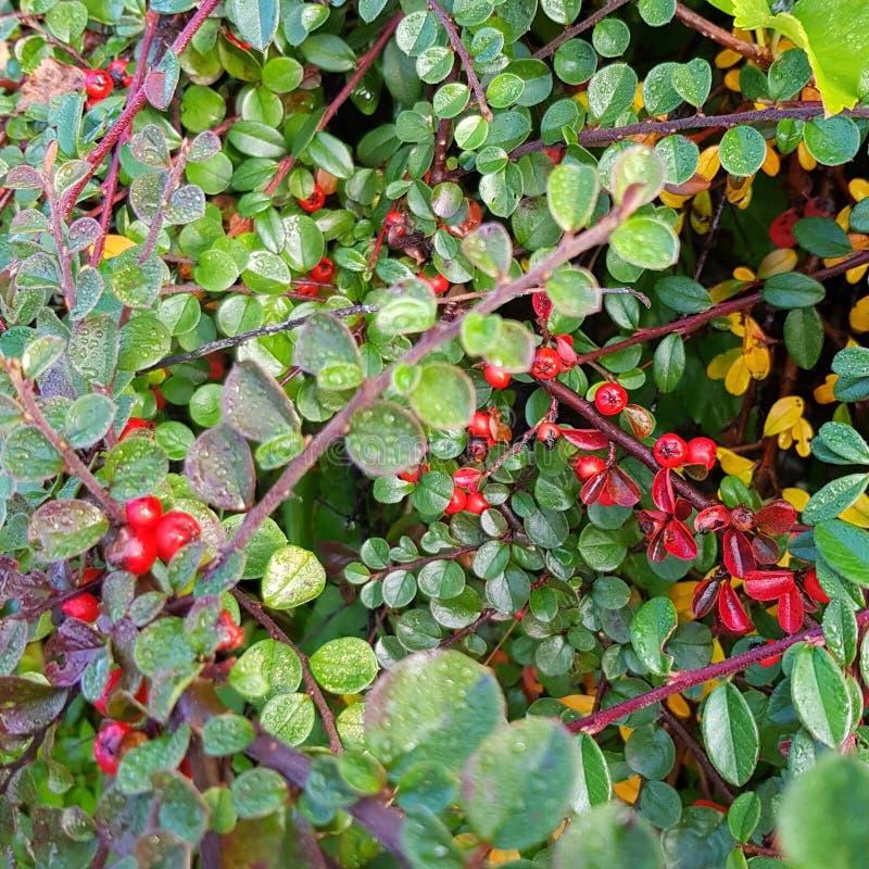 Autumn Berry Blid-Som stockfotos