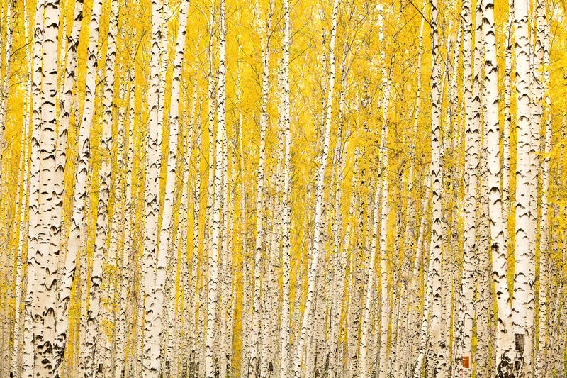 Autumn birch forest. In Russia stock photo