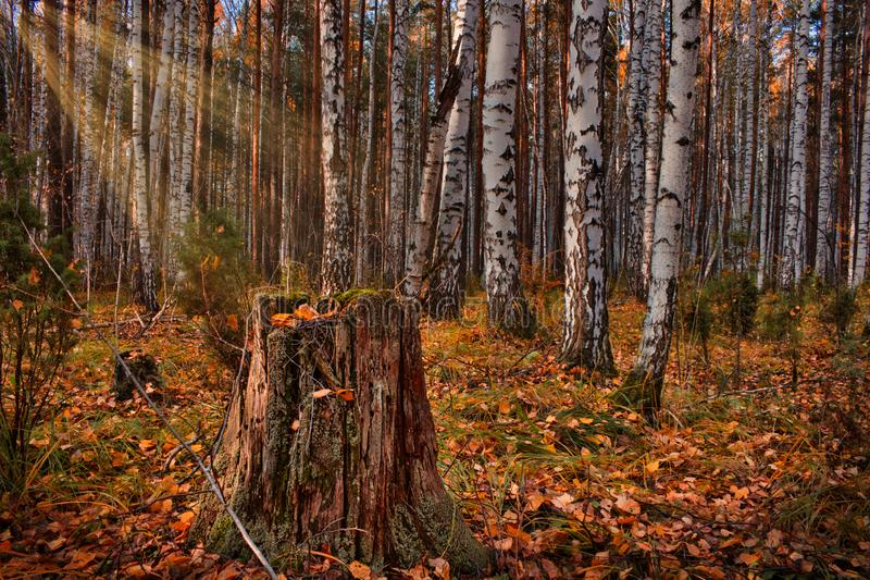Autumn birch forest in the sun. Fallen yellow leaves in the forest and an old rotten stump. Autumn landscape royalty free stock photography