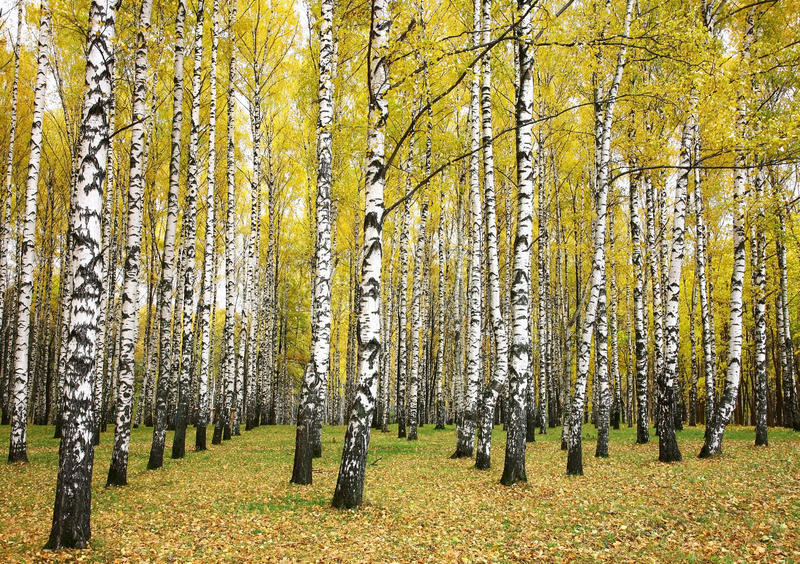 Autumn birch grove royalty free stock photos