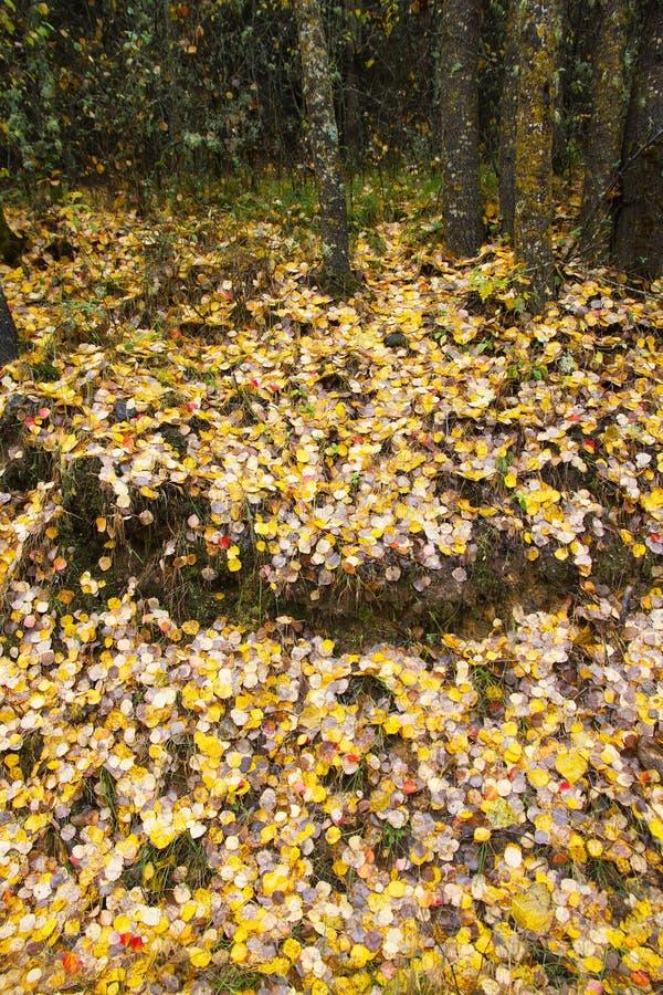 Autumn Birch Leaves Covering la terra un giorno piovoso fotografia stock