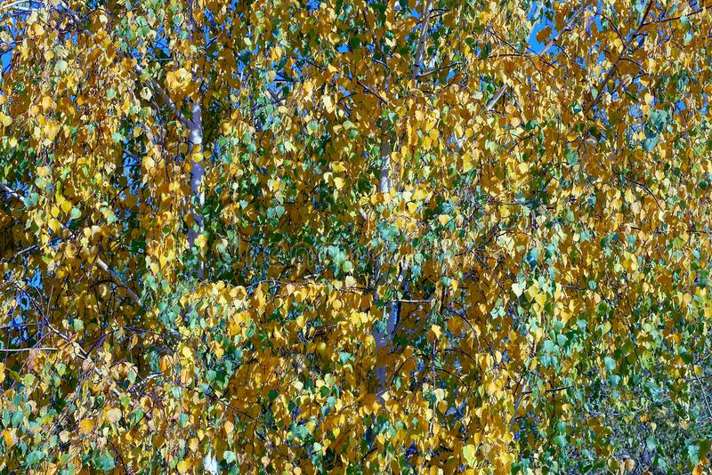 Autumn birch leaves on a greenish green tree in the park. Colored vegetative texture of small birch leaves royalty free stock photography
