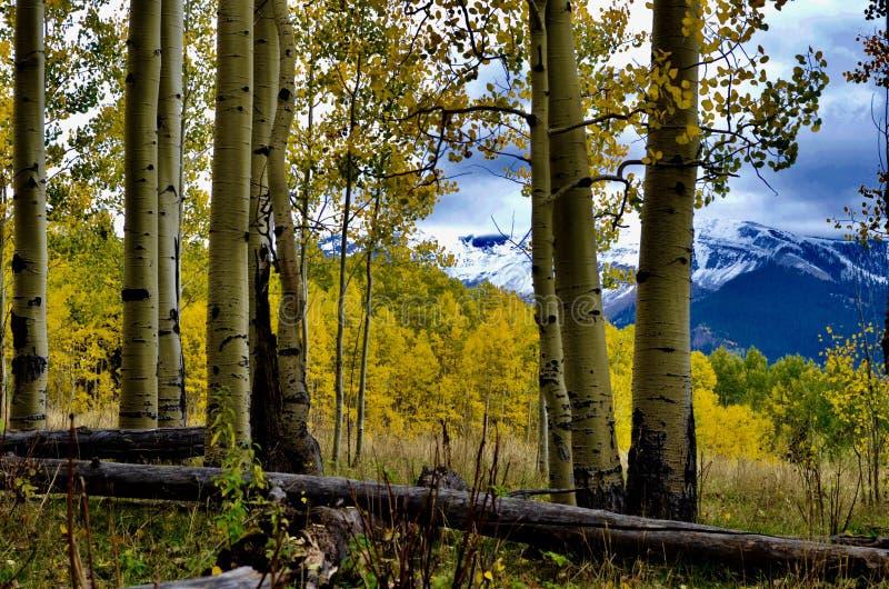 Autumn Birches and Dibé Nitsaa, Mount Hesperus, San Juans, Colorado. Autumn Gold and Mountain Blues. San Juan Mountains, forest road 561. Follow the signs to royalty free stock photo