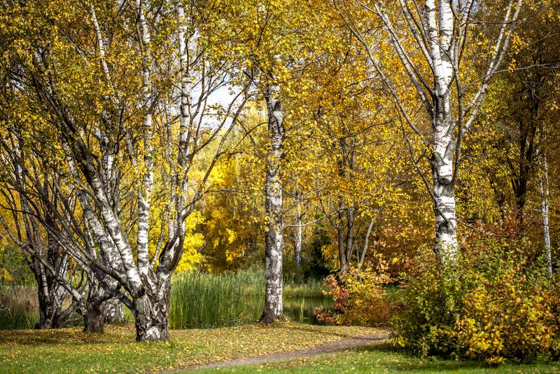 Autumn birches in the Park in Golden autumn.  stock photo