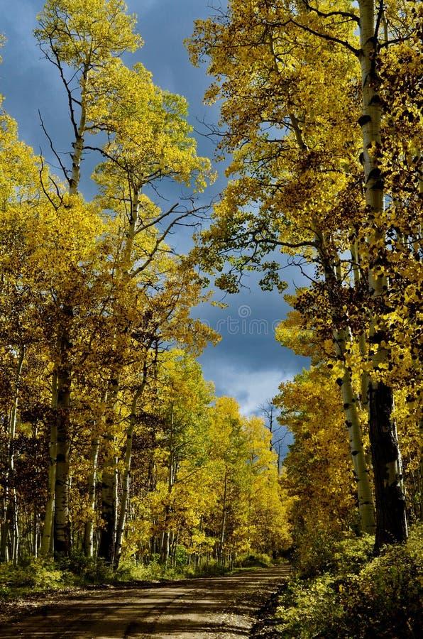Autumn Birches on the road to Dibé Nitsaa, Mount Hesperus, San Juans, Colorado. Autumn Gold and Mountain Blues. San Juan Mountains, forest road 561. Follow stock photos
