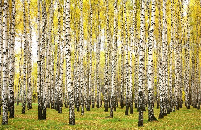 Autumn birches royalty free stock photo