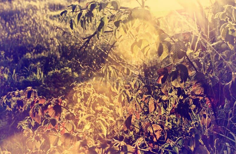 Autumn Blackberry Bush con un chiarore dorato della lente - retro fotografie stock