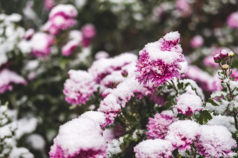 Autumn blooming flowers of pink color covered with snow. Frozen chrysanthemum flowers in the garden. stock photography
