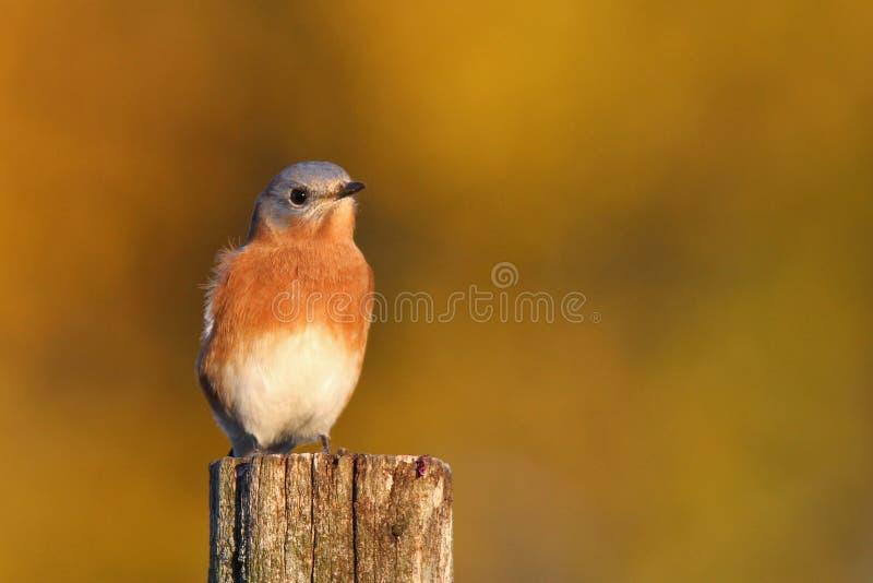 Autumn Bluebird stockfotografie