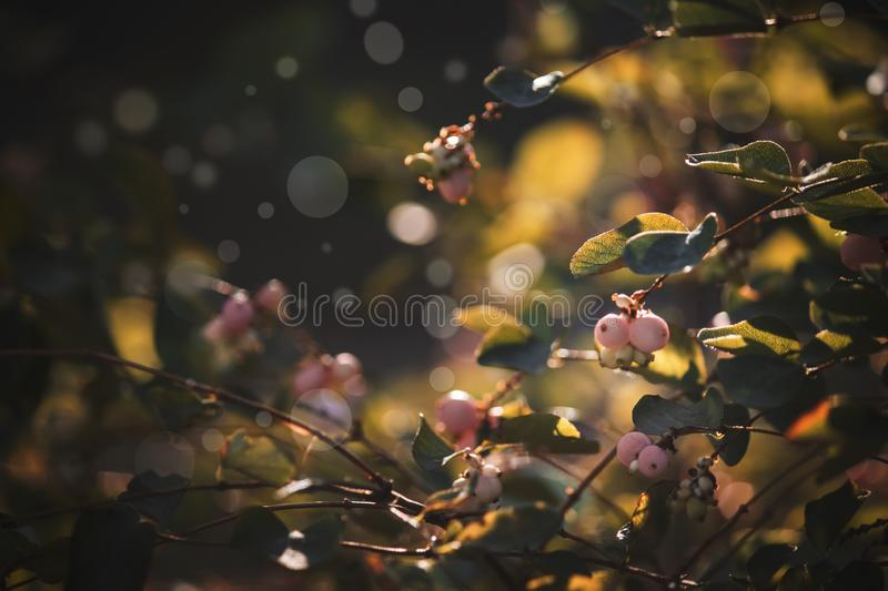 Autumn blurred natural background with pink berries, sun flare and bokeh royalty free stock image