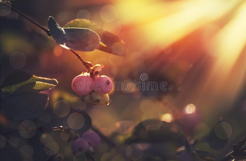 Autumn blurred natural background with pink berries, sun flare and bokeh stock images
