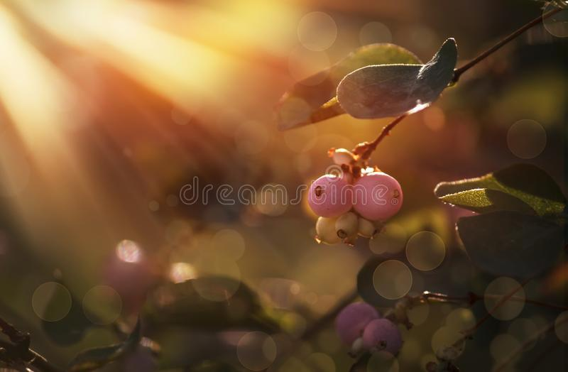 Autumn blurred natural background with pink berries, sun flare and bokeh royalty free stock photos
