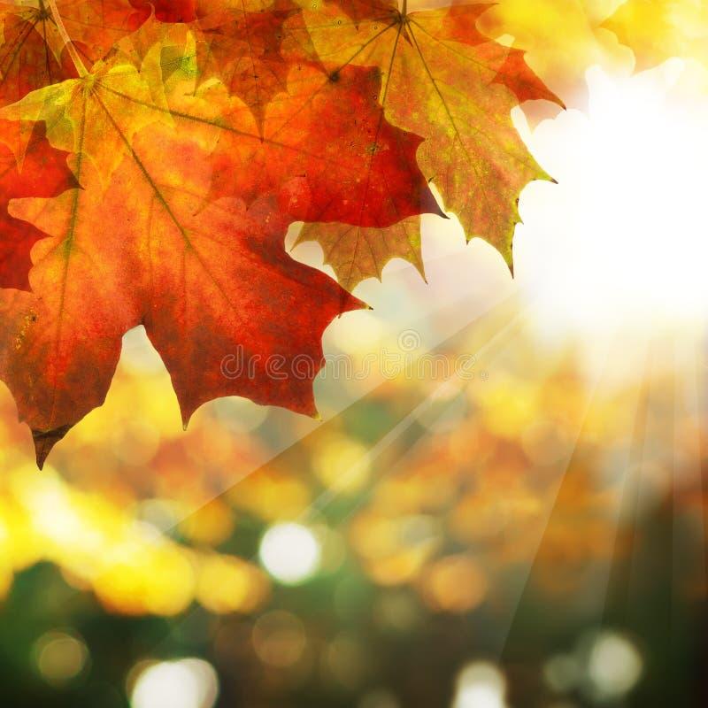 Autumn Border av lönnlöv på abstrakt Bokeh bakgrund fotografering för bildbyråer