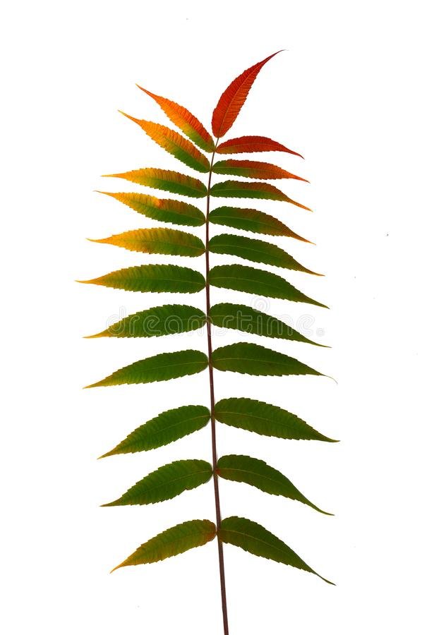 Autumn branch of a decorative sumac tree with colorful leaves. Isolated on a white background. Template for designer royalty free stock photos