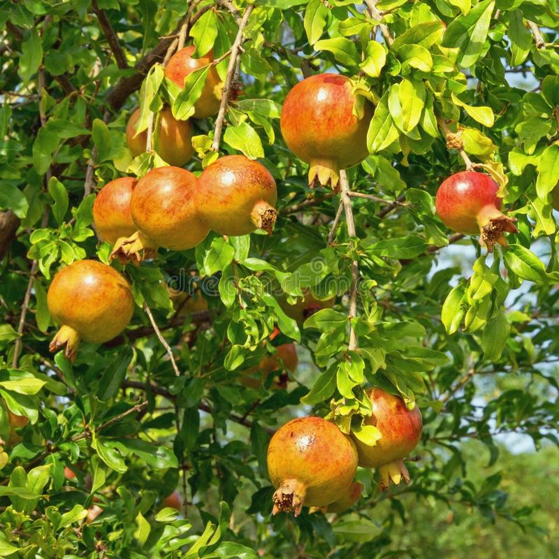 Autumn. Branch of pomegranate tree Punica granatum with leaves  and ripe fruits. On a sunny day royalty free stock images