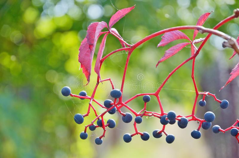 Autumn wild grapes with berry and red leaves royalty free stock images