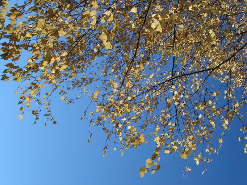 Birch tree autumn leaves on blue sky background stock image