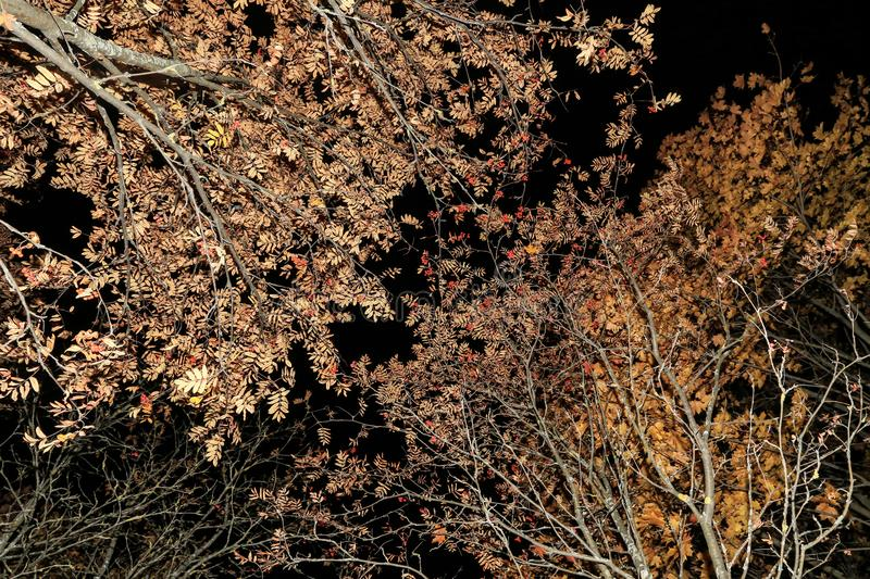 Autumn branches texture, trees with leaves and red berries, nature background stock photography