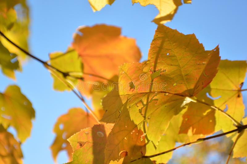Autumn leaves and blue skies. Close up of gold autumn leaves against blue skies royalty free stock image
