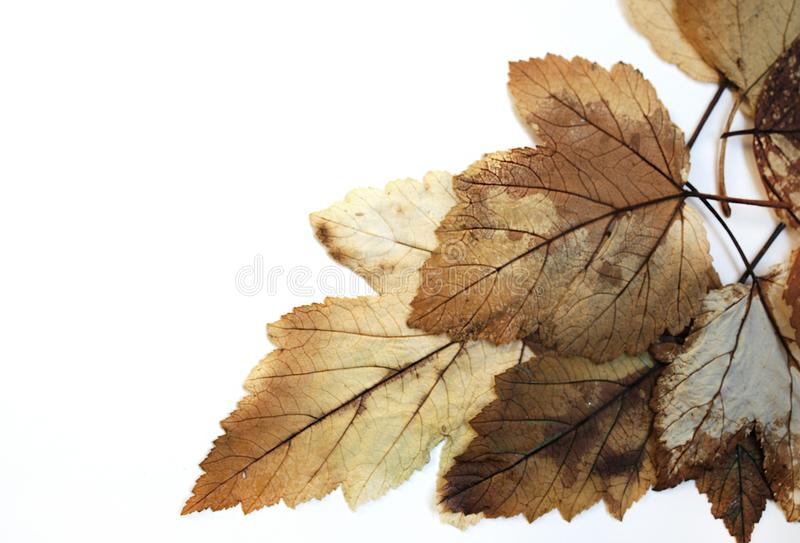 Autumn brown leaves on white background. Photophone. stock image