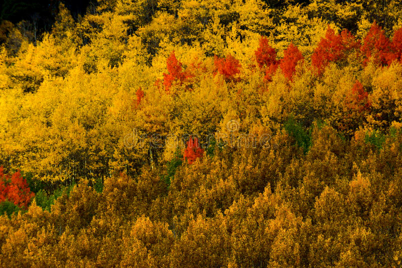 Autumn Brushwork. Aspen trees show off their incredible Fall color along Monarch Pass in Colorado stock image