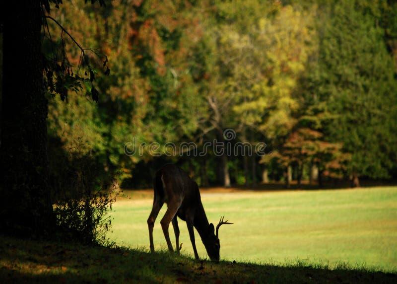 Autumn Buck imagen de archivo