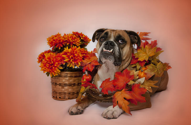 Autumn bulldog portrait. An English Bulldog posing with orange, Fall colors in leaves and flowers stock image