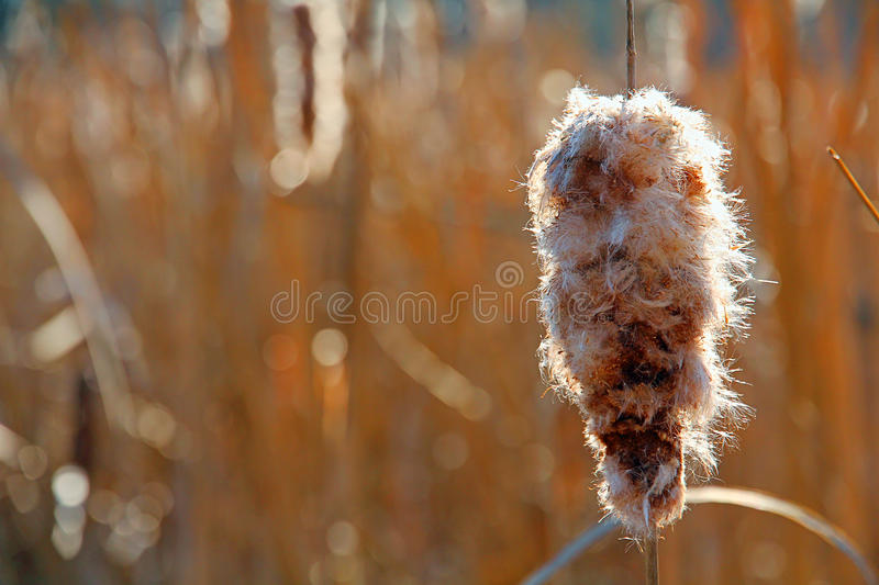 Autumn Bulrush stock photos