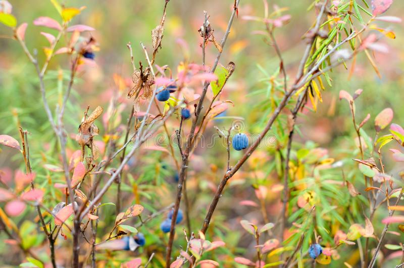 Autumn bushes of wild boreal blueberries with dried grass. royalty free stock image
