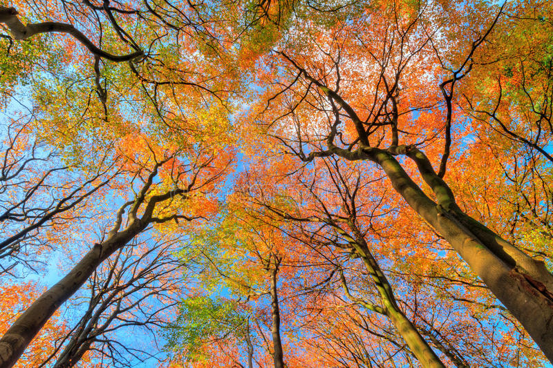 Autumn Canopy image stock
