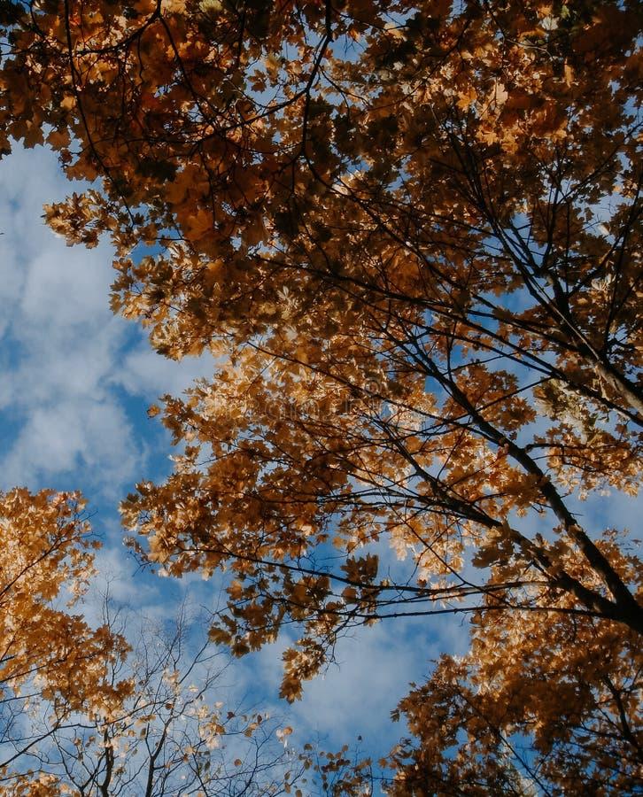 Autumn Canopy av gula trädblad i nedgång royaltyfri foto