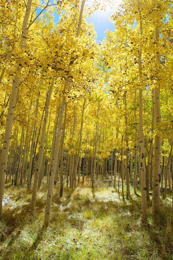 Autumn Canopy d'Aspen Tree Leafs jaune brillant dans l'automne photographie stock libre de droits
