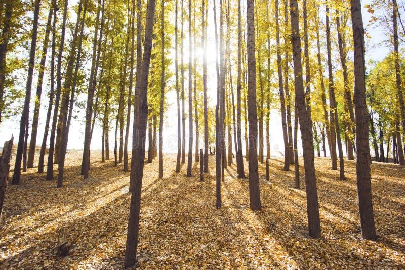 Autumn Canopy Of Tree Foresta decidua immagini stock