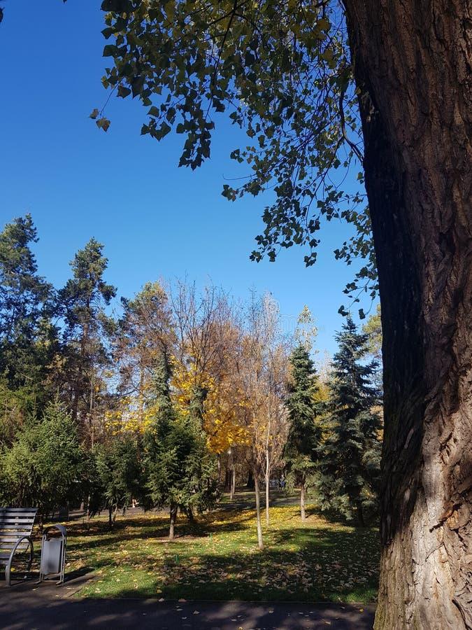 Autumn Canopy von glänzendem gelbem Aspen Tree Leafs im Fall in das Almaty lizenzfreie stockbilder
