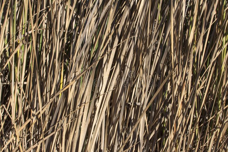 Autumn cattails with dry brown leaves. Closeup of thick growing Typha cattails with dry brown leaves in Autumn royalty free stock image