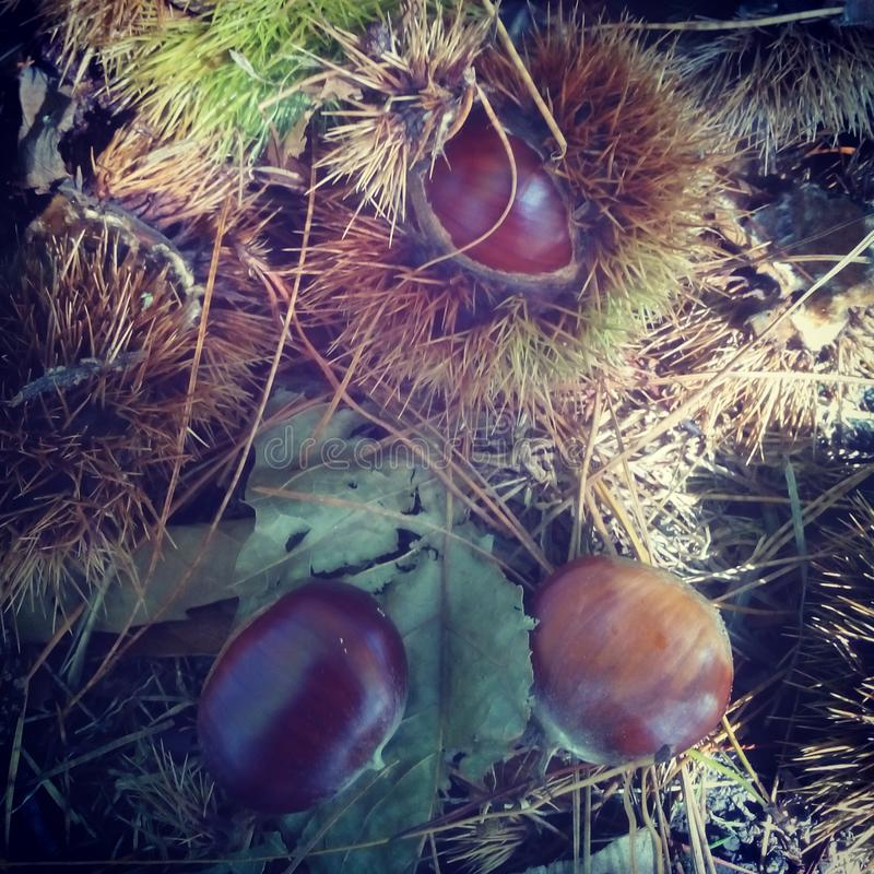Autumn Chestnut-bos stock afbeelding