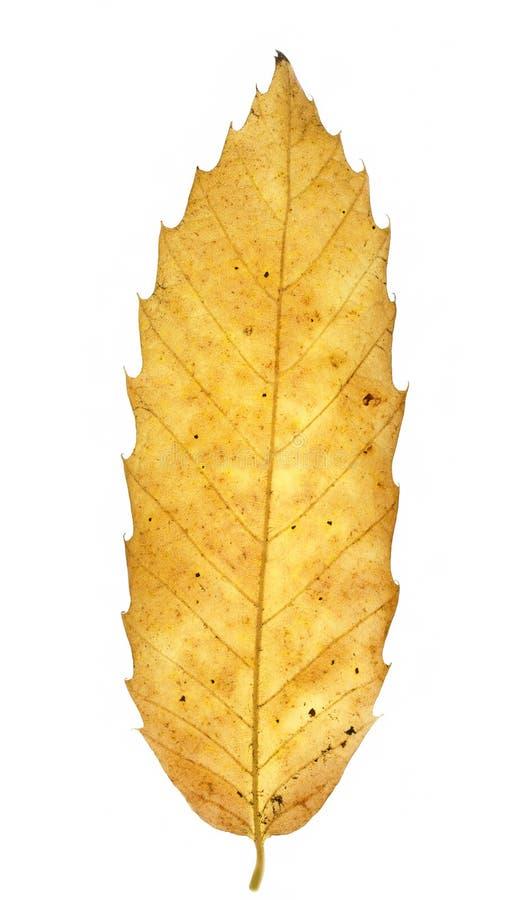 Autumn chestnut leaf royalty free stock photos