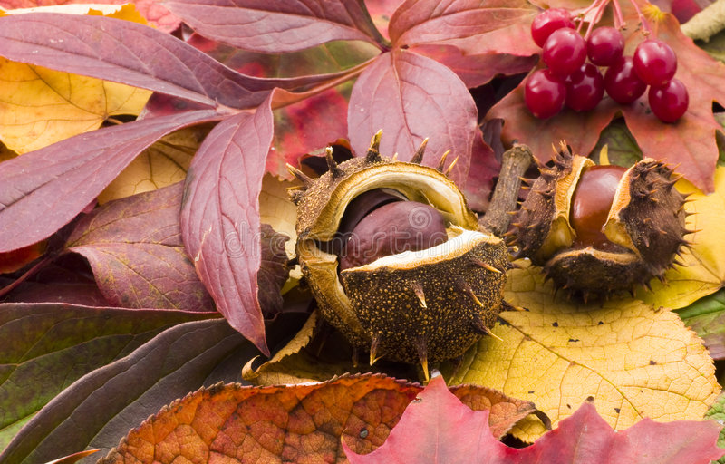 Autumn chestnuts. Fallen chestnuts on colorful leaves royalty free stock photography