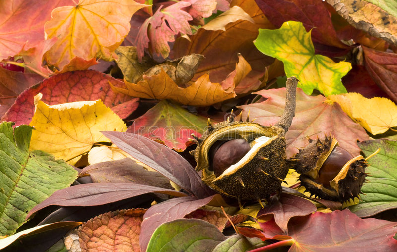 Autumn chestnuts. Fallen chestnuts on colorful leaves stock photo