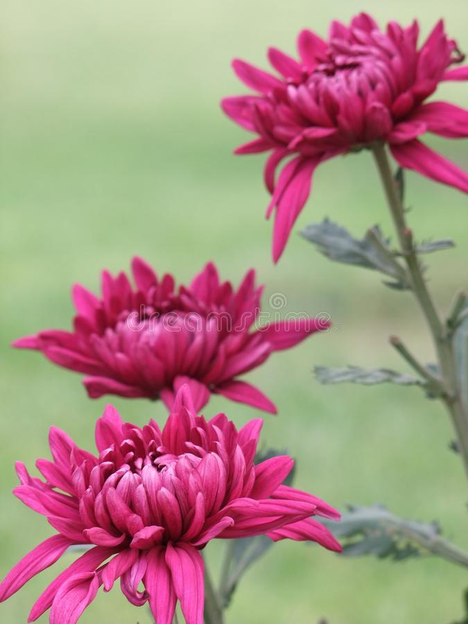 Free Autumn Chrysanthemum Stock Photos - 16312393